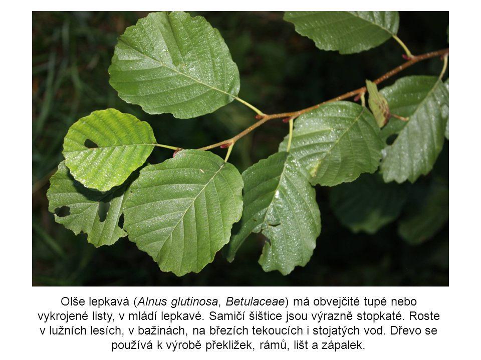 Olše lepkavá (Alnus glutinosa, Betulaceae) má obvejčité tupé nebo vykrojené listy, v mládí lepkavé. Samičí šištice jsou výrazně stopkaté. Roste v lužn