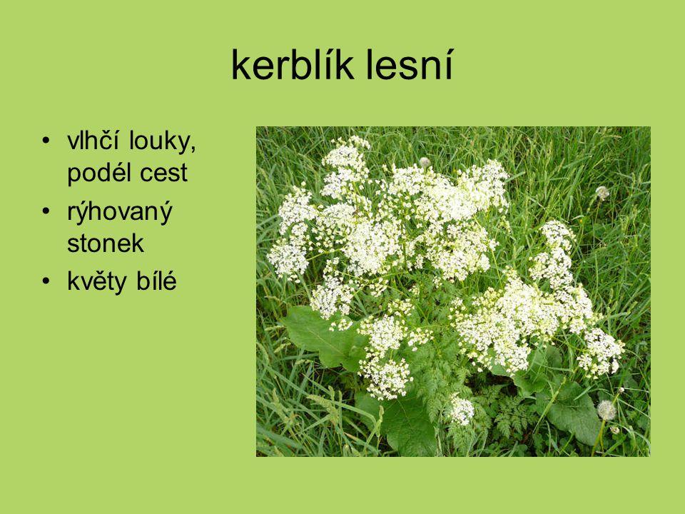 kerblík lesní vlhčí louky, podél cest rýhovaný stonek květy bílé