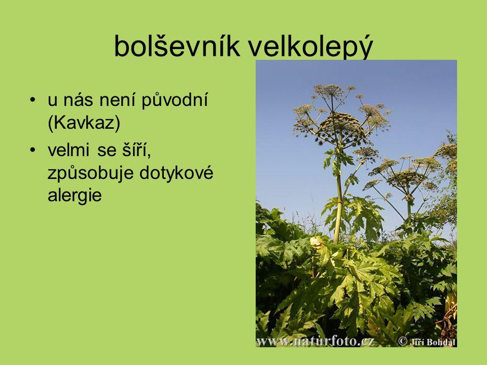bolševník velkolepý u nás není původní (Kavkaz) velmi se šíří, způsobuje dotykové alergie