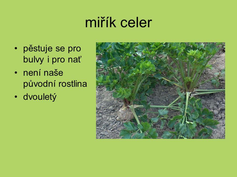 miřík celer pěstuje se pro bulvy i pro nať není naše původní rostlina dvouletý