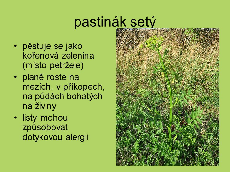 pastinák setý pěstuje se jako kořenová zelenina (místo petržele) planě roste na mezích, v příkopech, na půdách bohatých na živiny listy mohou způsobov