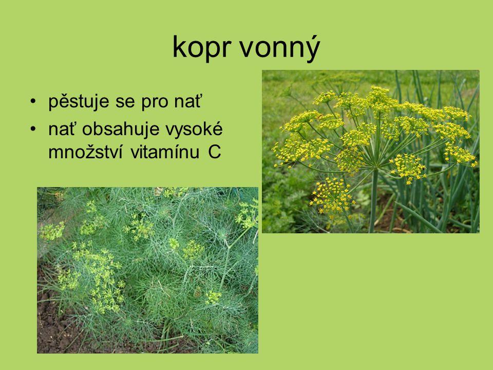 kopr vonný pěstuje se pro nať nať obsahuje vysoké množství vitamínu C