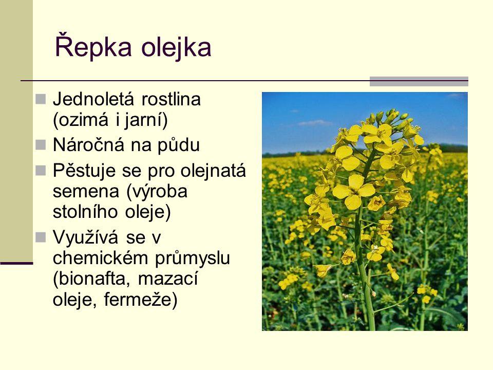 Řepka olejka Jednoletá rostlina (ozimá i jarní) Náročná na půdu Pěstuje se pro olejnatá semena (výroba stolního oleje) Využívá se v chemickém průmyslu (bionafta, mazací oleje, fermeže)