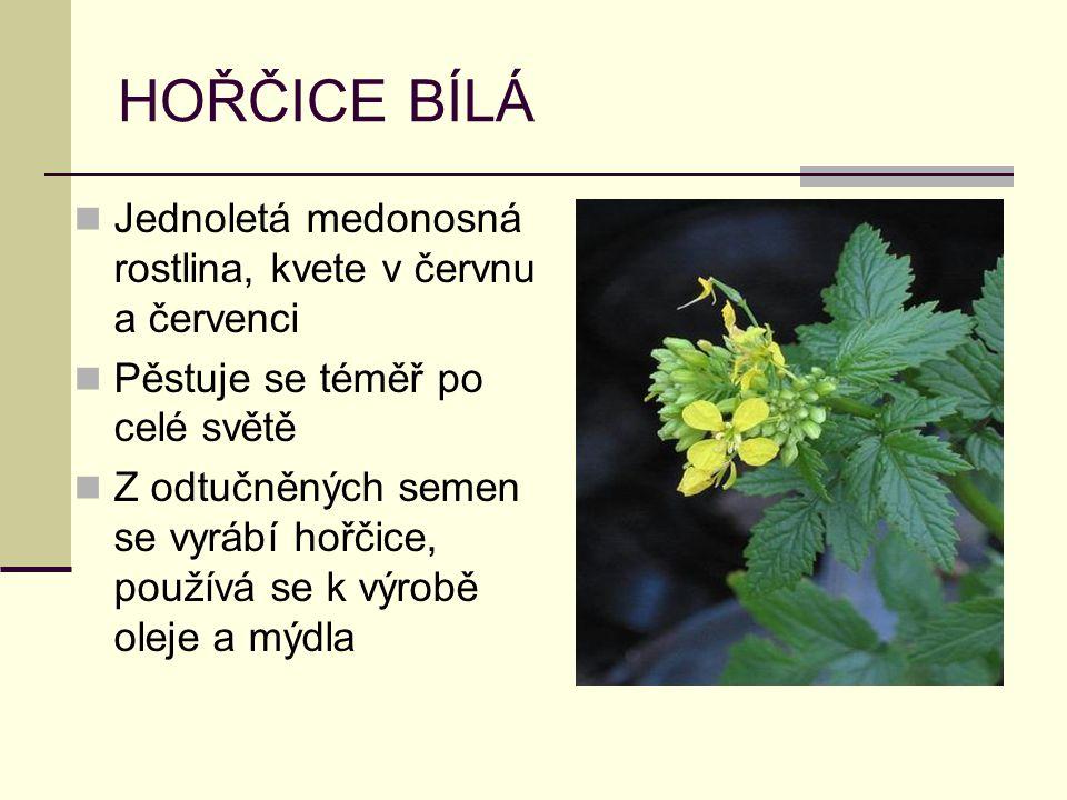 HOŘČICE BÍLÁ Jednoletá medonosná rostlina, kvete v červnu a červenci Pěstuje se téměř po celé světě Z odtučněných semen se vyrábí hořčice, používá se k výrobě oleje a mýdla