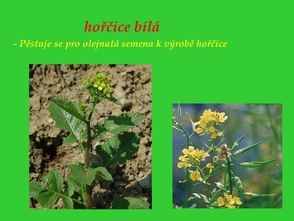 hořčice bílá - Pěstuje se pro olejnatá semena k výrobě hořčice