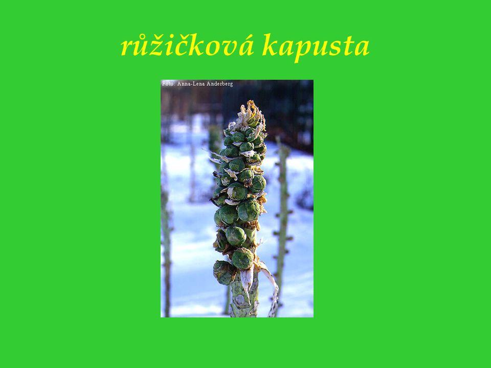 ředkev setá - jarní zelenina s hypokotylovou hlízou