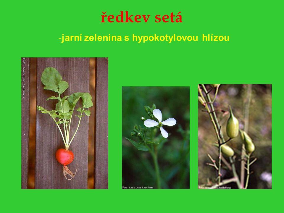 křen selský -pěstuje se pro ztlustlý kořen, který je využíván jako pochutina