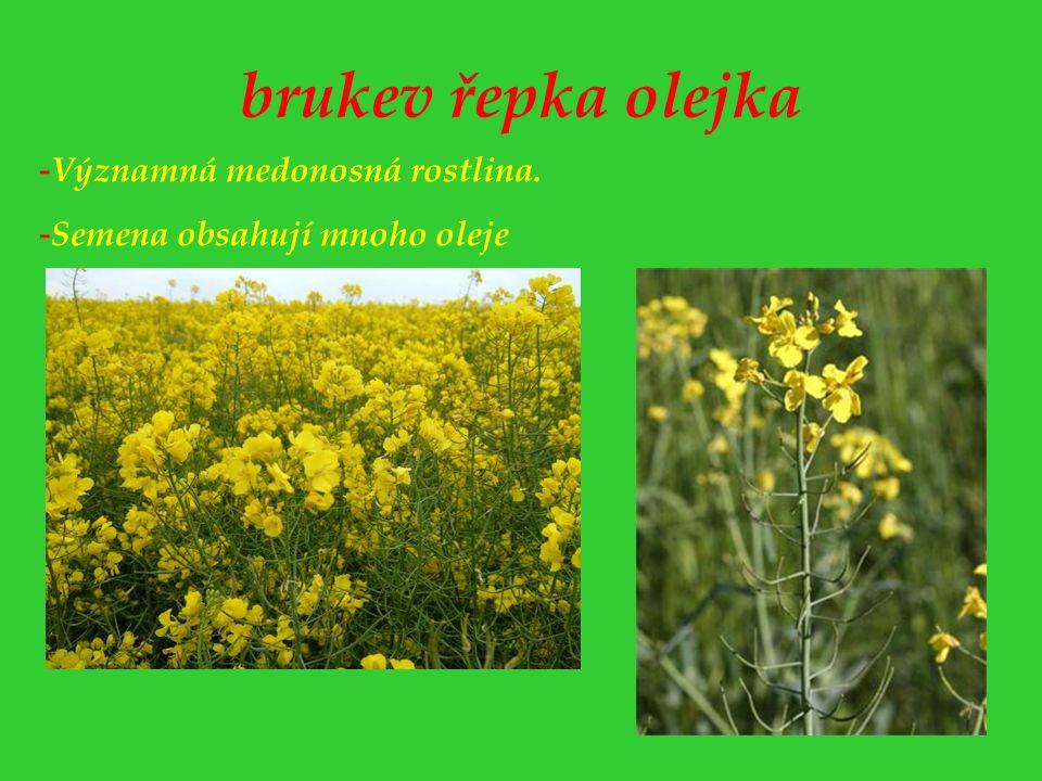 brukev řepka olejka - Významná medonosná rostlina. - Semena obsahují mnoho oleje