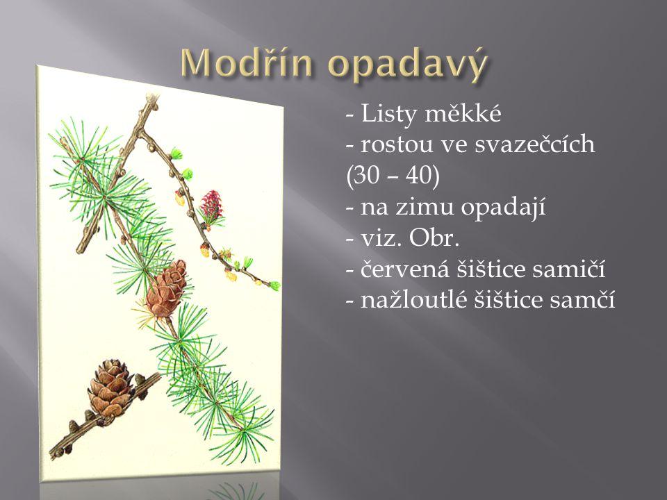 - Listy měkké - rostou ve svazečcích (30 – 40) - na zimu opadají - viz. Obr. - červená šištice samičí - nažloutlé šištice samčí