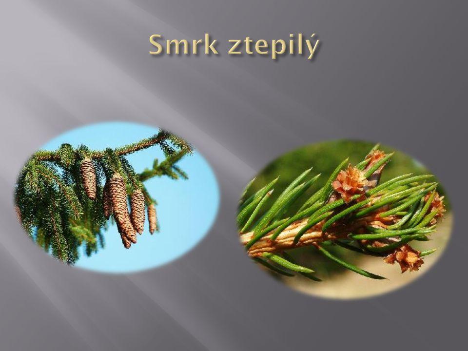  Parkový keř  Prudce jedovatý - taxin,(kromě míšku)  Semeno v míšku  Semeno jedovaté  Dvoudomá rostlina