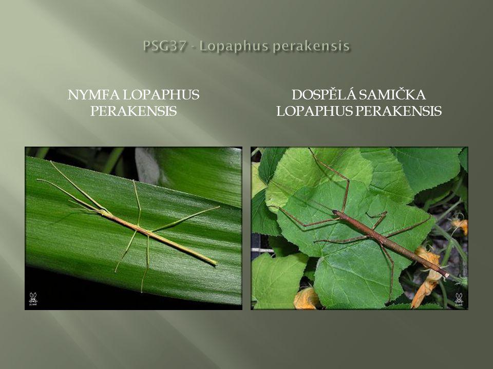 NYMFA LOPAPHUS PERAKENSIS DOSPĚLÁ SAMIČKA LOPAPHUS PERAKENSIS