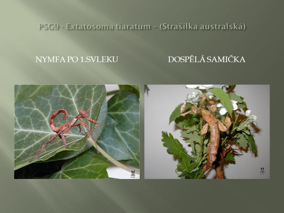 NYMFY SAMIČEK PO 2.SVLEKUDOSPĚLÁ SAMIČKA