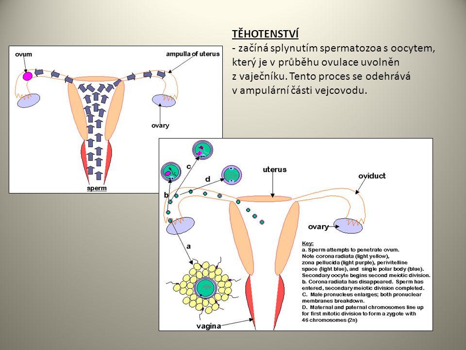 TĚHOTENSTVÍ - začíná splynutím spermatozoa s oocytem, který je v průběhu ovulace uvolněn z vaječníku.