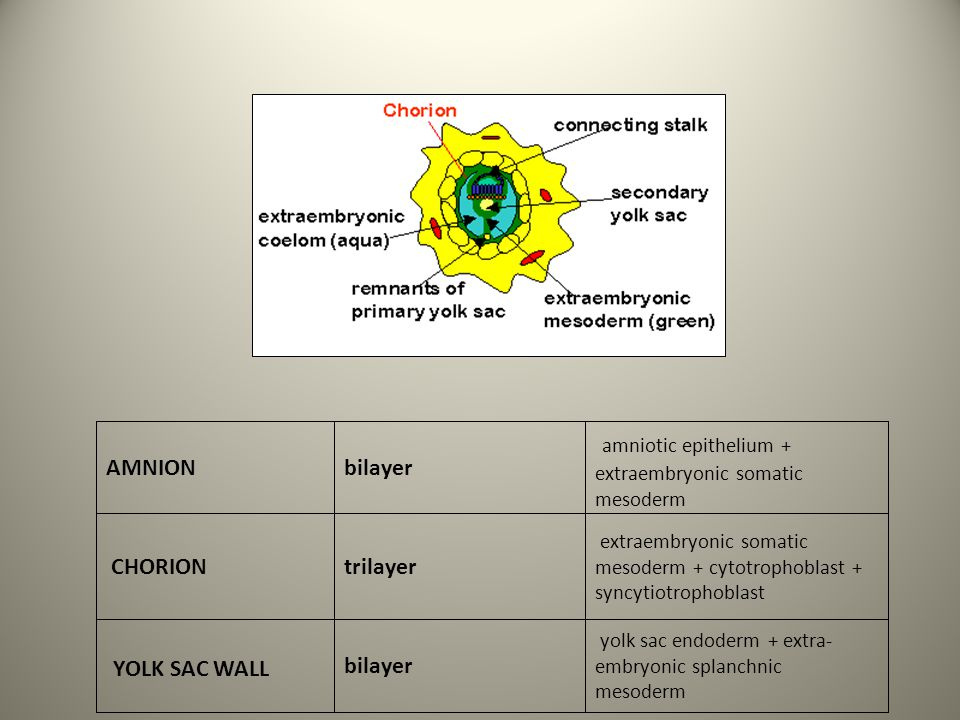 AMNIONbilayer amniotic epithelium + extraembryonic somatic mesoderm CHORIONtrilayer extraembryonic somatic mesoderm + cytotrophoblast + syncytiotropho