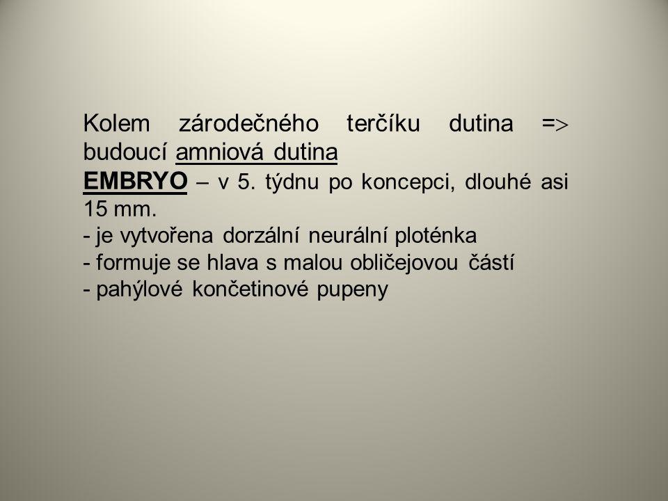 Kolem zárodečného terčíku dutina =  budoucí amniová dutina EMBRYO – v 5.
