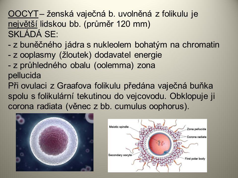 OOCYT – ženská vaječná b.uvolněná z folikulu je největší lidskou bb.