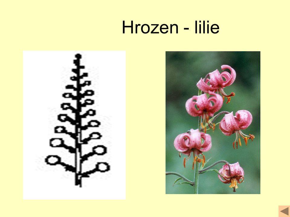 Hrozen - lilie