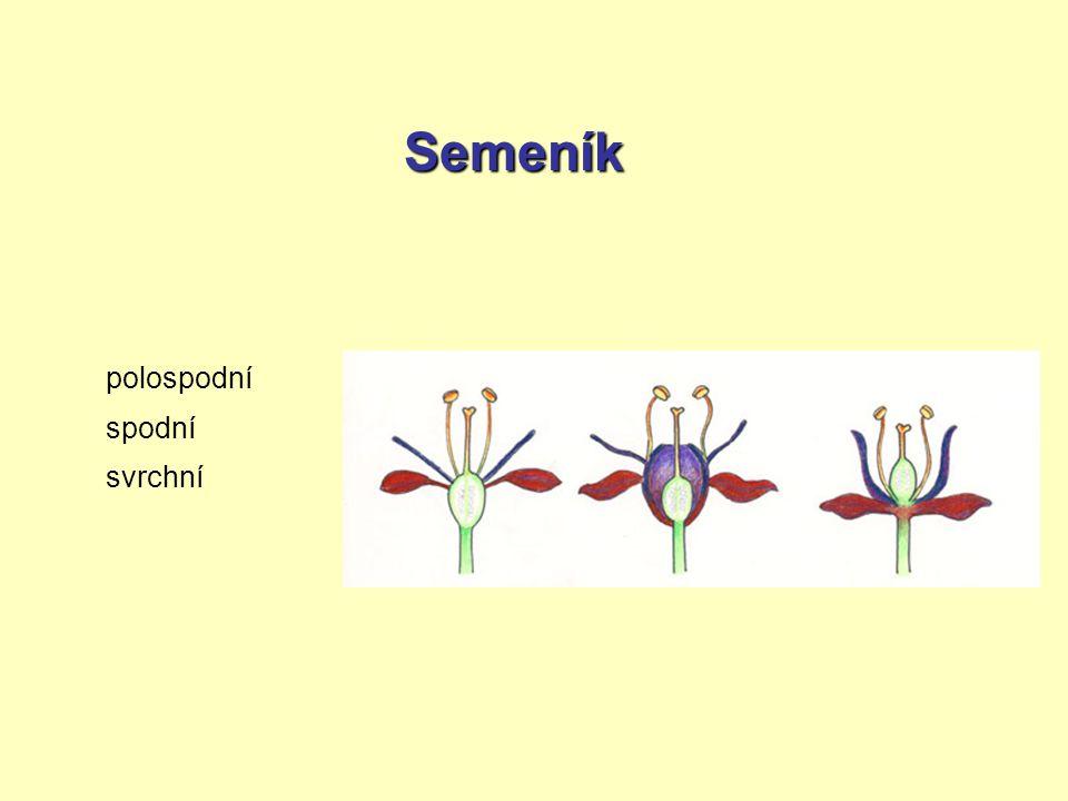 oboupohlavné květy jednopohlavné květy jednodomé rostliny dvoudomé rostliny květní diagram květní vzorecvzorec nesou tyčinky i pestík(y) – většina nesou jen tyčinky nebo jen pestík(y) – líska nesou samčí i samičí květy nesou jen samčí nebo jen samičí květy K (5) C (5) A 5 G (3) Květy oboupohlavné, pravidelné, kalich srostlý z 5 lístků, koruna srostlá z 5 lístků, 5 volných tyčinek, semeník svrchní, srostlý ze 3 plodolistů