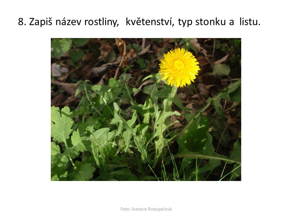 8. Zapiš název rostliny, květenství, typ stonku a listu. Foto: Svatava Rozsypalová