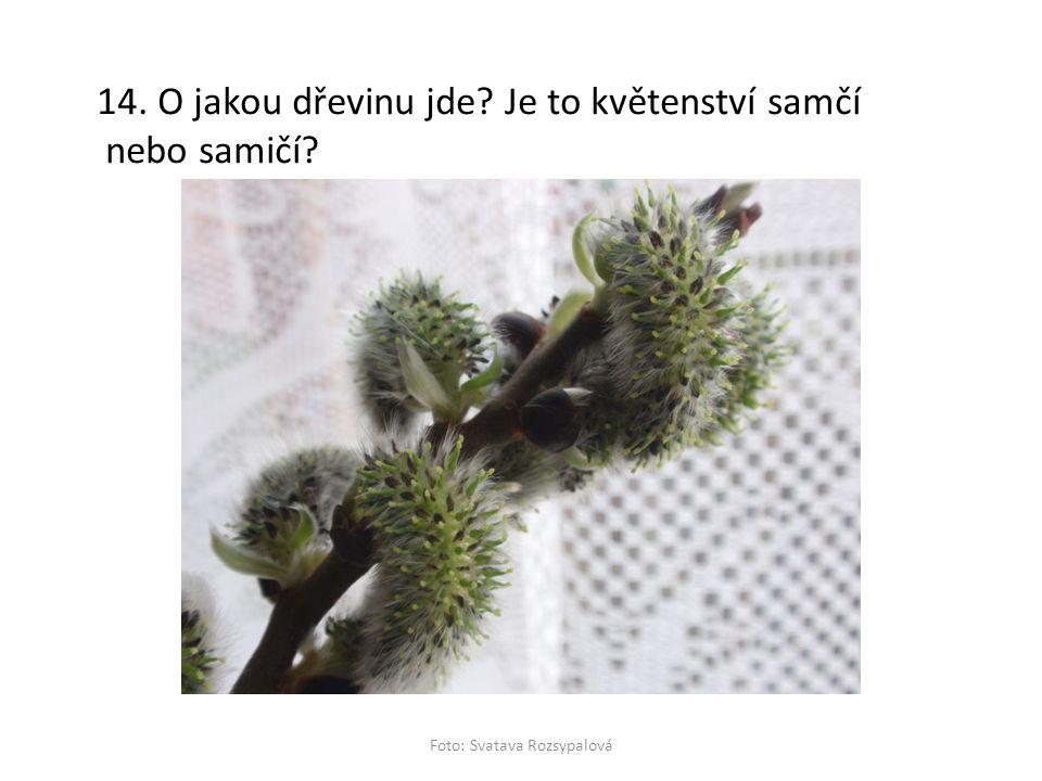 14. O jakou dřevinu jde? Je to květenství samčí nebo samičí? Foto: Svatava Rozsypalová