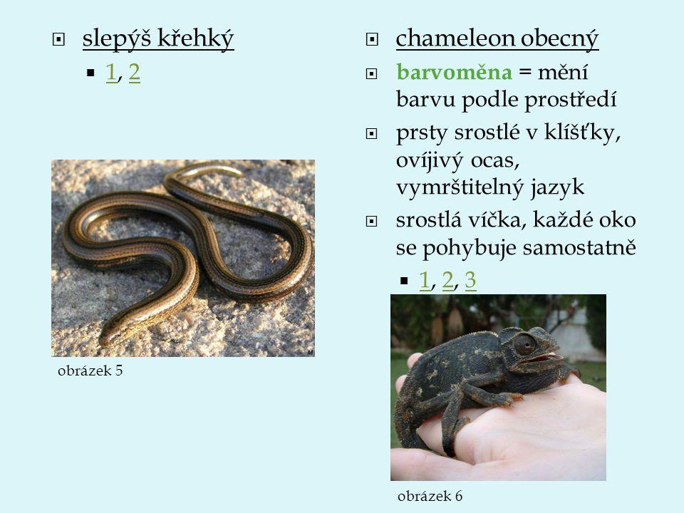  slepýš křehký  1, 2 12  chameleon obecný  barvoměna = mění barvu podle prostředí  prsty srostlé v klíšťky, ovíjivý ocas, vymrštitelný jazyk  sr