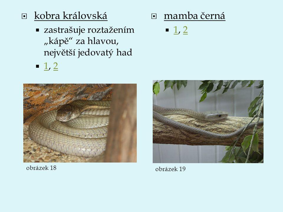 """ kobra královská  zastrašuje roztažením """"kápě"""" za hlavou, největší jedovatý had  1, 2 12  mamba černá  1, 2 12 obrázek 18 obrázek 19"""