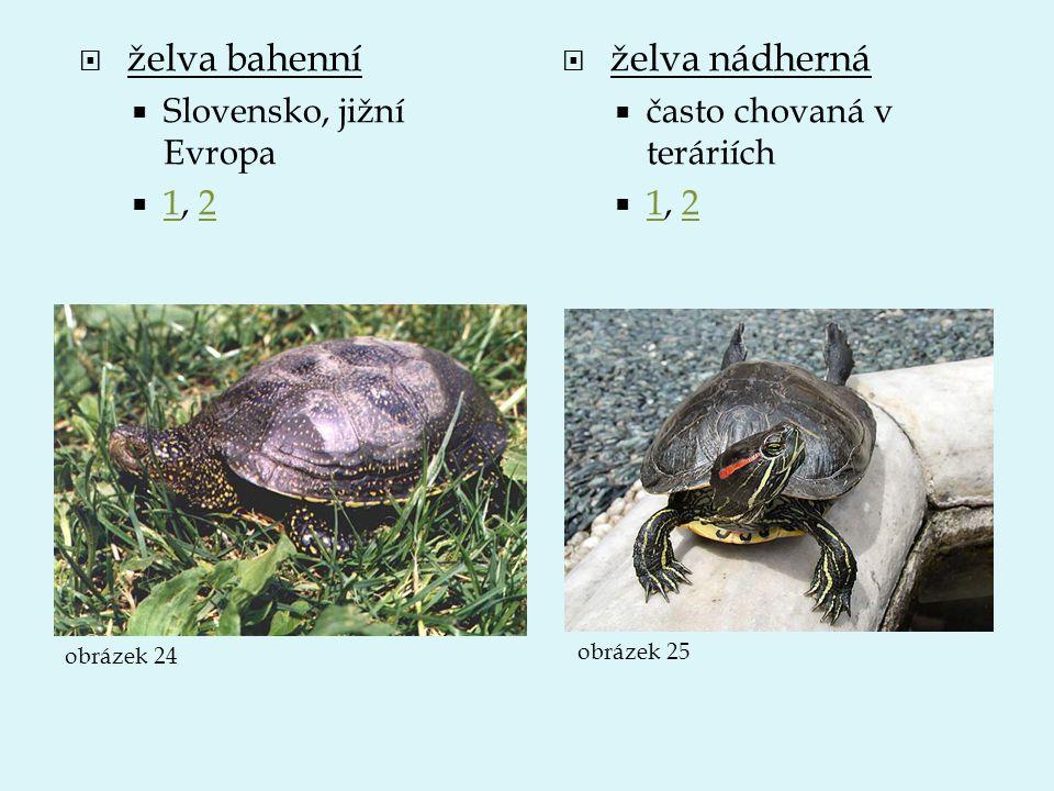  želva bahenní  Slovensko, jižní Evropa  1, 2 12  želva nádherná  často chovaná v teráriích  1, 2 12 obrázek 24 obrázek 25