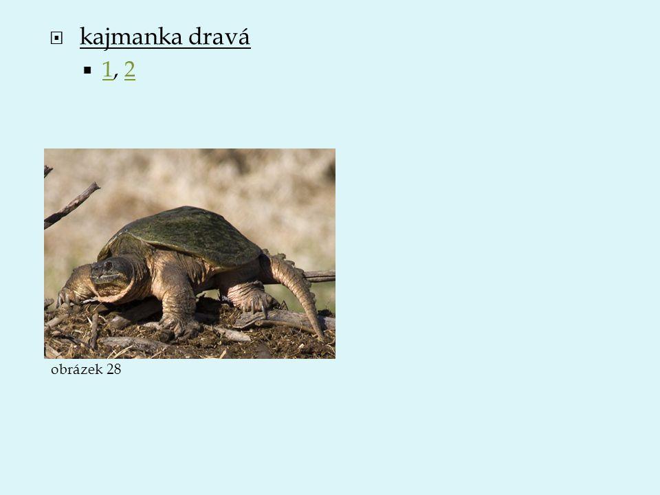  kajmanka dravá  1, 2 12 obrázek 28