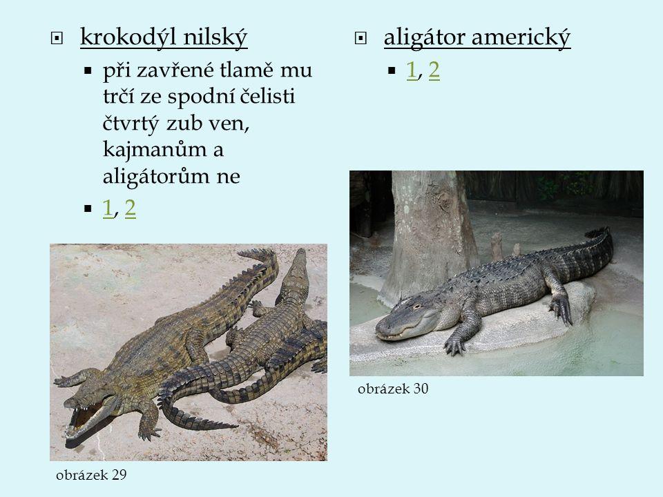  krokodýl nilský  při zavřené tlamě mu trčí ze spodní čelisti čtvrtý zub ven, kajmanům a aligátorům ne  1, 2 12  aligátor americký  1, 2 12 obráz