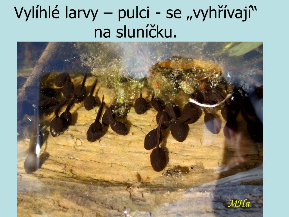 """Vylíhlé larvy – pulci - se """"vyhřívají"""" na sluníčku."""