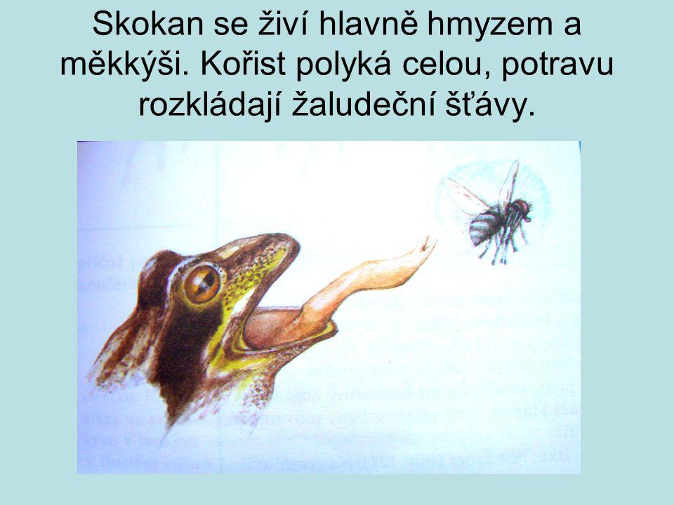 Skokan se živí hlavně hmyzem a měkkýši. Kořist polyká celou, potravu rozkládají žaludeční šťávy.