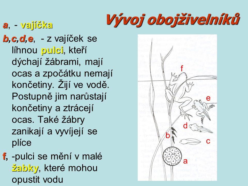 Vývoj obojživelníků avajíčka a, - vajíčka b,c,d,e pulci b,c,d,e, - z vajíček se líhnou pulci, kteří dýchají žábrami, mají ocas a zpočátku nemají konče