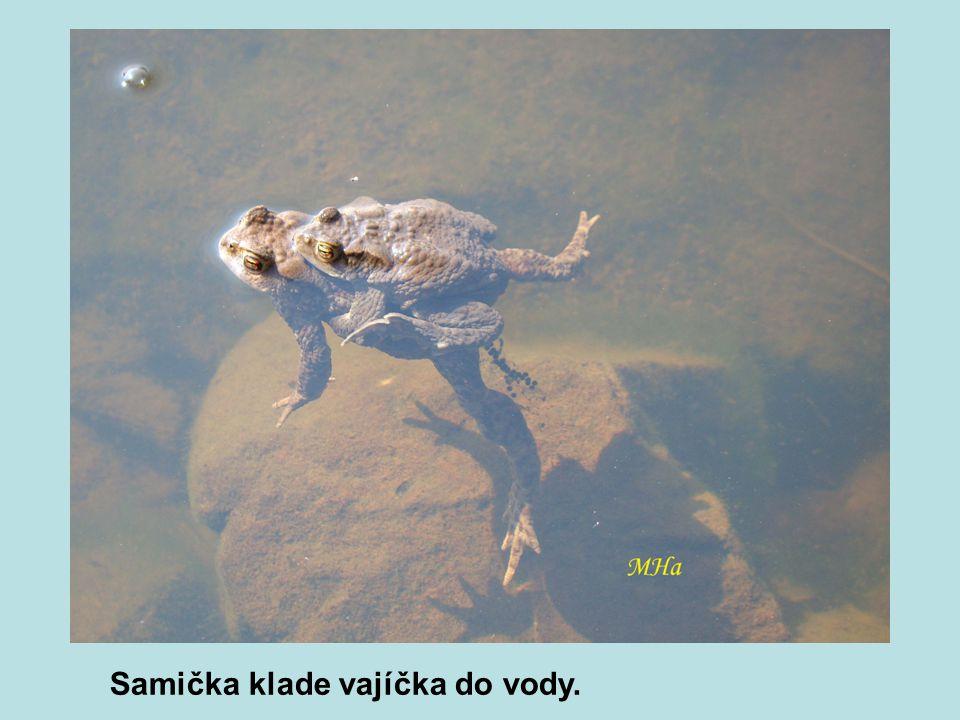 Samička klade vajíčka do vody.