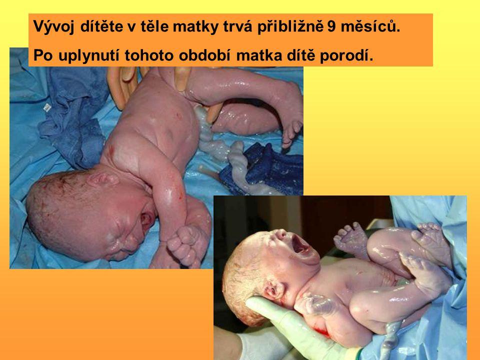 Vývoj dítěte v těle matky trvá přibližně 9 měsíců. Po uplynutí tohoto období matka dítě porodí.