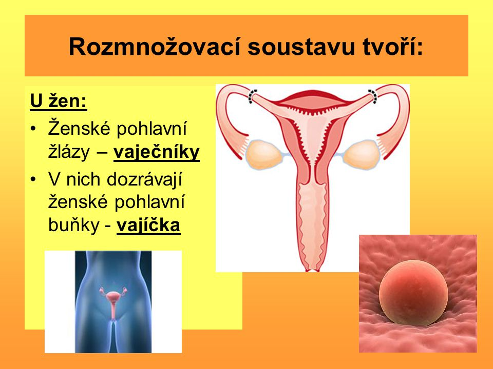 Rozmnožovací soustavu tvoří: U žen: Ženské pohlavní žlázy – vaječníky V nich dozrávají ženské pohlavní buňky - vajíčka