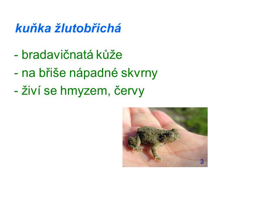 kuňka žlutobřichá - bradavičnatá kůže - na břiše nápadné skvrny - živí se hmyzem, červy 3