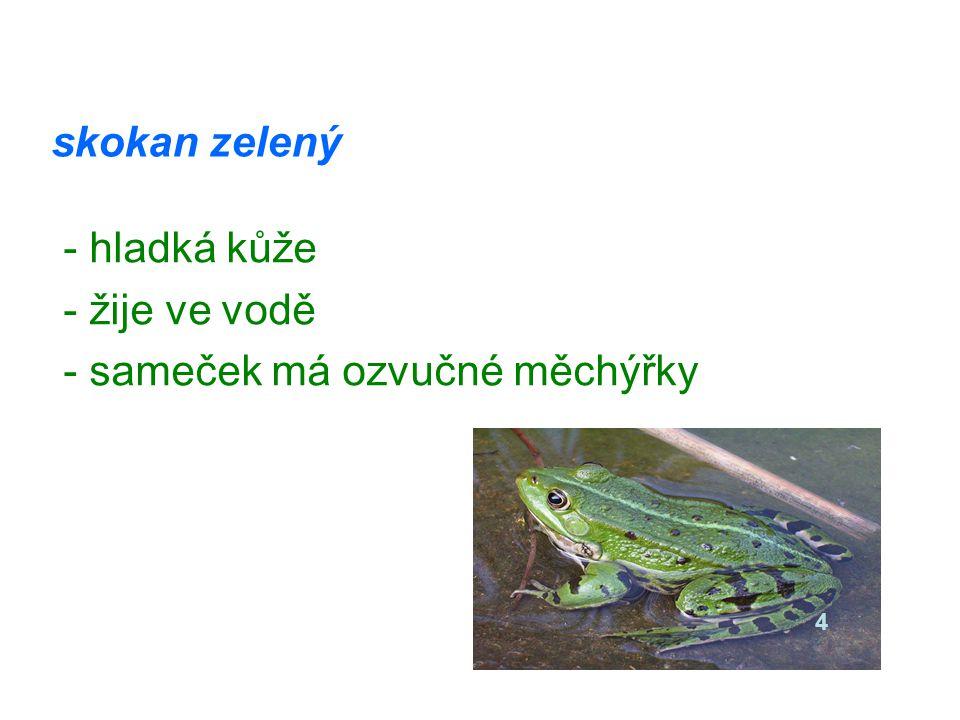 skokan zelený - hladká kůže - žije ve vodě - sameček má ozvučné měchýřky 4