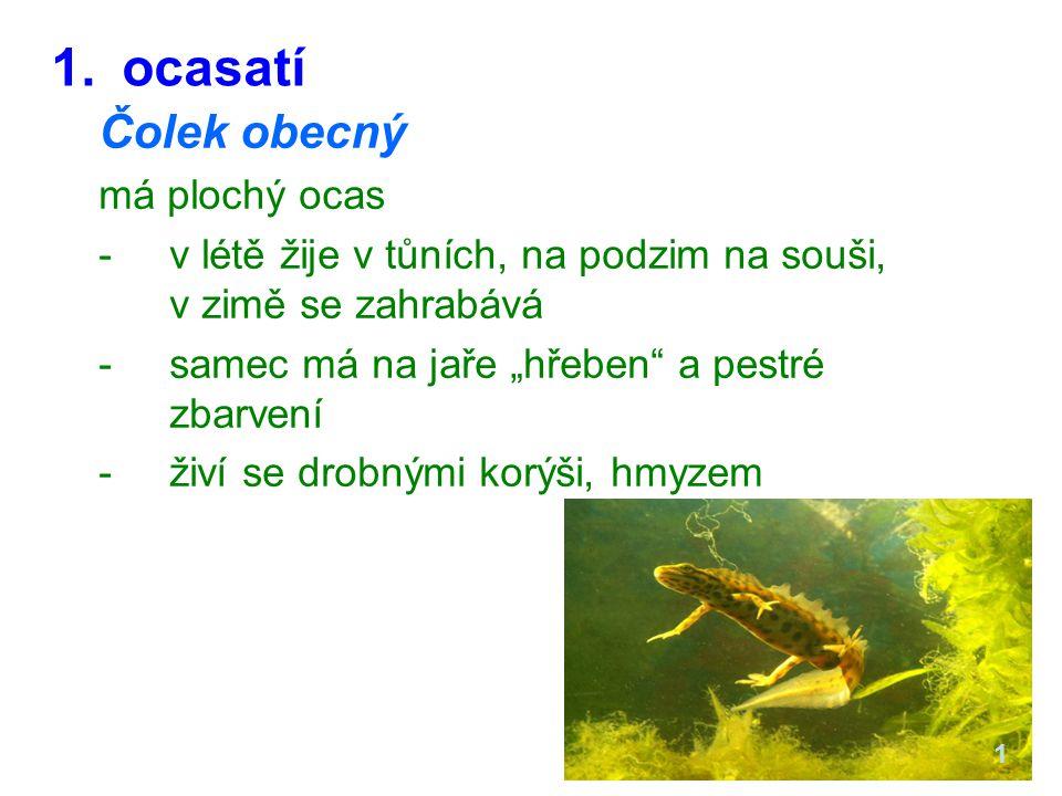 """1.ocasatí Čolek obecný má plochý ocas -v létě žije v tůních, na podzim na souši, v zimě se zahrabává -samec má na jaře """"hřeben a pestré zbarvení -živí se drobnými korýši, hmyzem 1"""