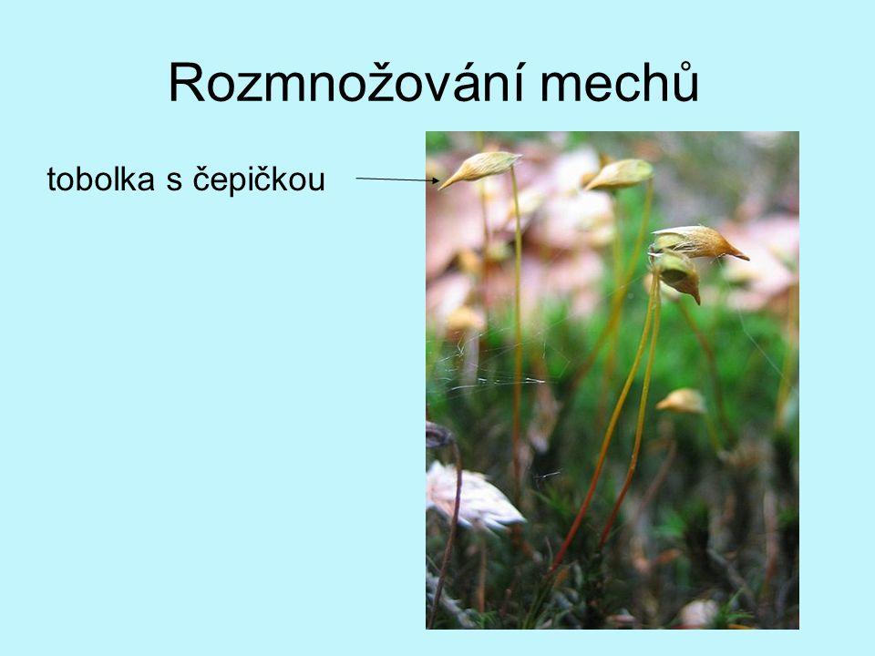 výtrusy → pohlavně odlišená vlákna → pohlavně odlišené mechové rostlinky → samčí pohlavní buňky přeneseny k samičím pohlavním buňkám → oplození → štět