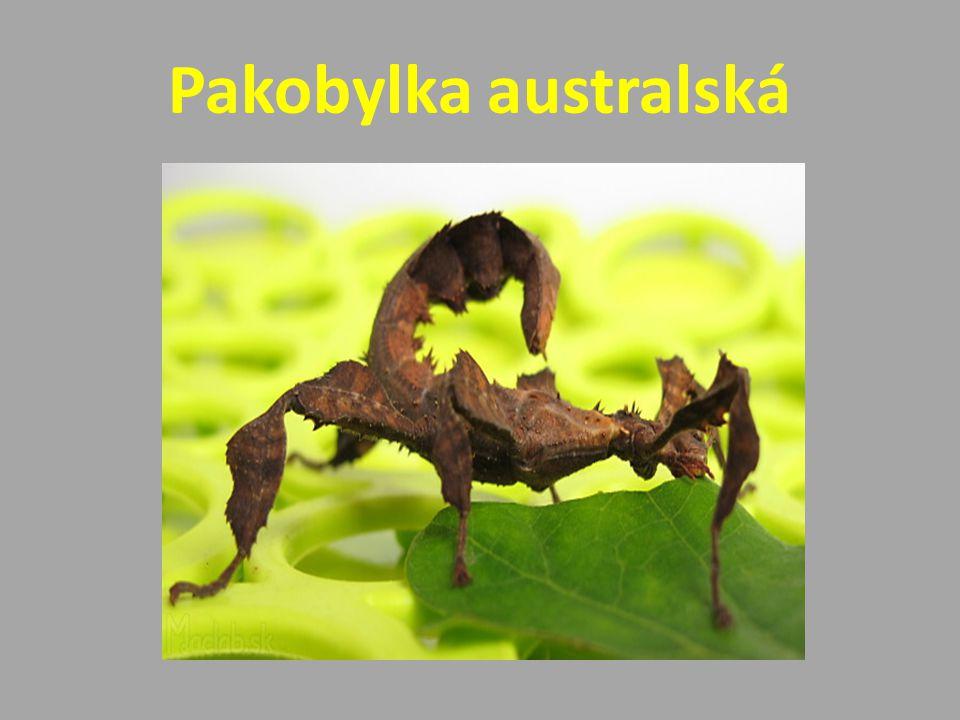 Pakobylka australská
