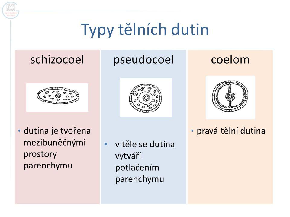 Typy tělních dutin pseudocoel v těle se dutina vytváří potlačením parenchymu coelom pravá tělní dutina schizocoel dutina je tvořena mezibuněčnými pros