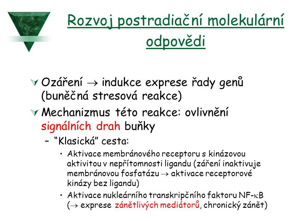 Rozvoj postradiační molekulární odpovědi  Ozáření  indukce exprese řady genů (buněčná stresová reakce)  Mechanizmus této reakce: ovlivnění signální