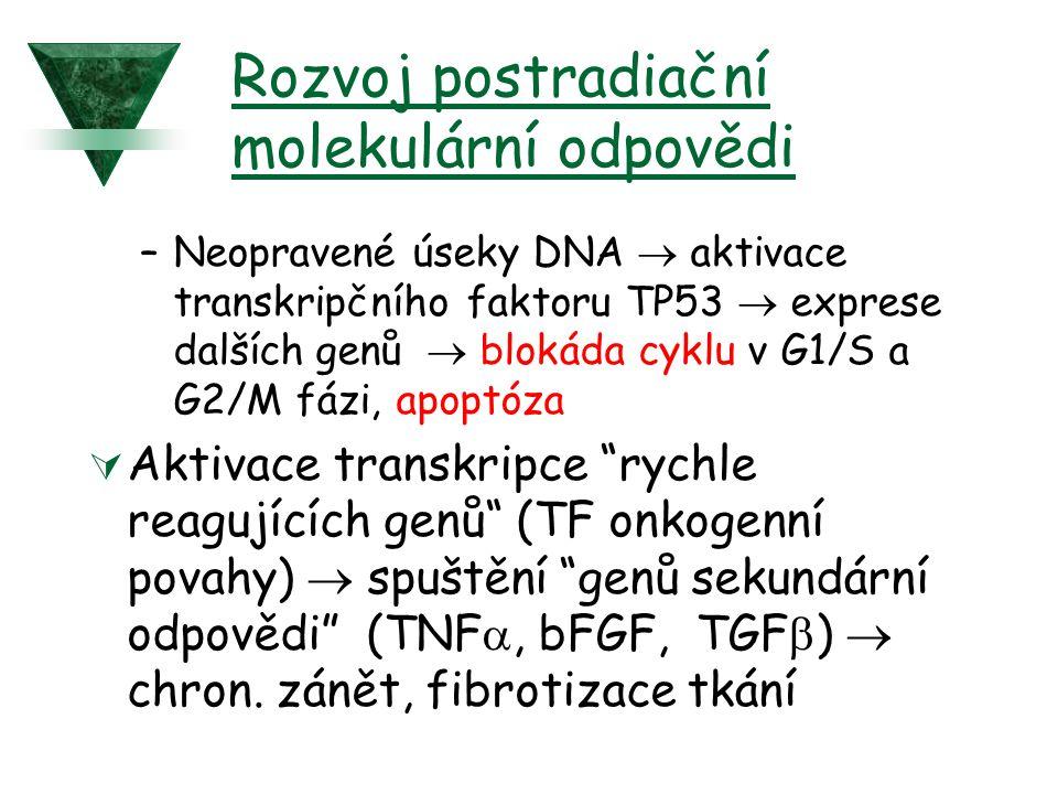 Rozvoj postradiační molekulární odpovědi –Neopravené úseky DNA  aktivace transkripčního faktoru TP53  exprese dalších genů  blokáda cyklu v G1/S a