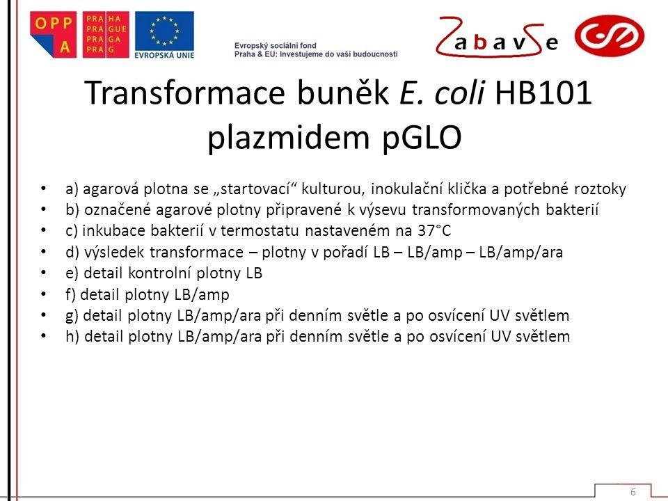 """Transformace buněk E. coli HB101 plazmidem pGLO a) agarová plotna se """"startovací"""" kulturou, inokulační klička a potřebné roztoky b) označené agarové p"""