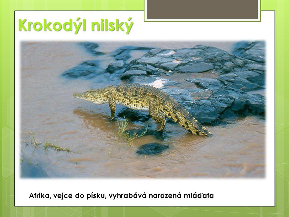Krokodýl nilský Afrika, vejce do písku, vyhrabává narozená mláďata