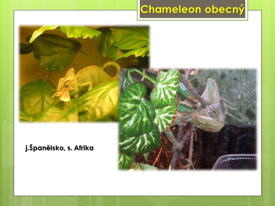 Chameleon obecný j.Španělsko, s. Afrika