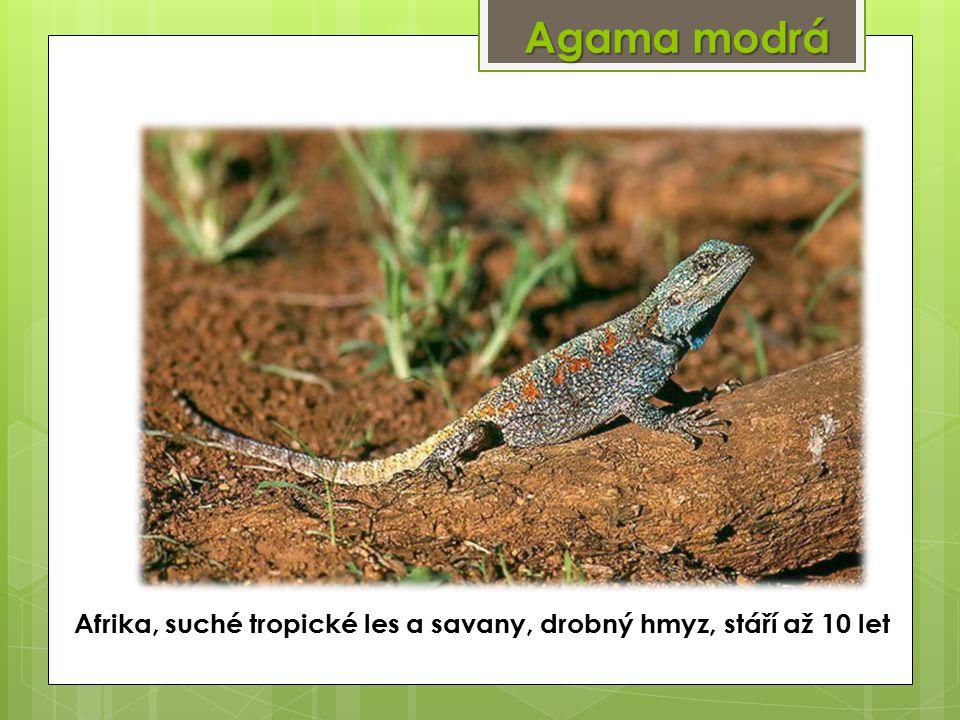 Agama modrá Afrika, suché tropické les a savany, drobný hmyz, stáří až 10 let