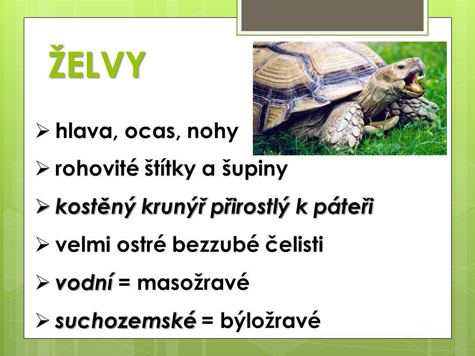 ZÁSTUPCI SUCHOZEMSKÉ  želva žlutohnědá  želva obrovská = sloní VODNÍ  kareta obrovská  kožatka velká (bez krunýře)  želva bahenní  želva nádherná