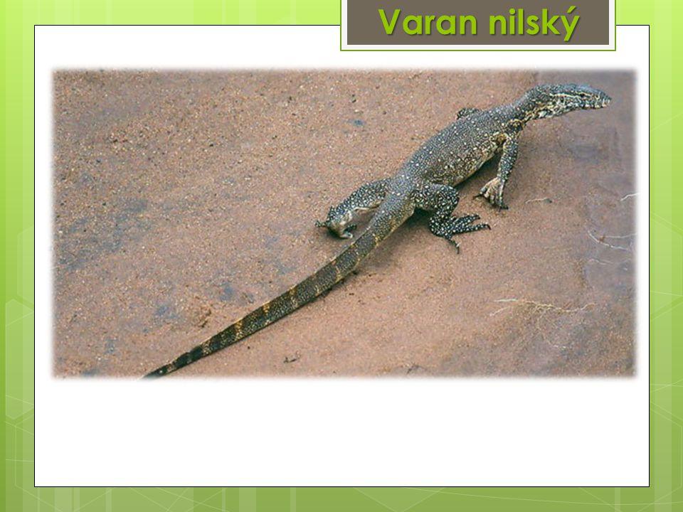 Varan nilský
