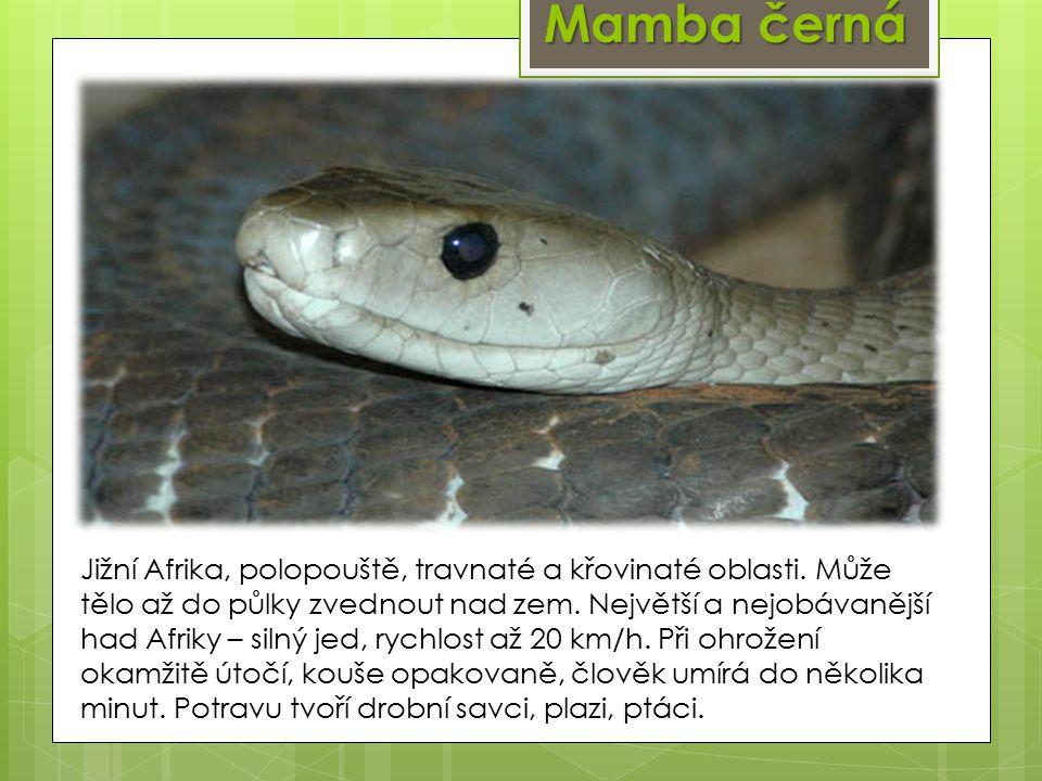 Mamba černá Jižní Afrika, polopouště, travnaté a křovinaté oblasti.